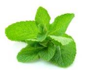 mint-herb
